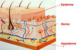 couches de la peau