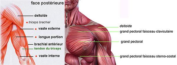 anatomie triceps et pectoraux